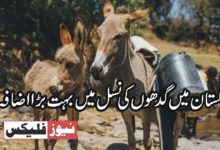 پاکستان میں گدھوں کی نسل میں بہت بڑا اضافہ، تفصیل اس رپورٹ میں