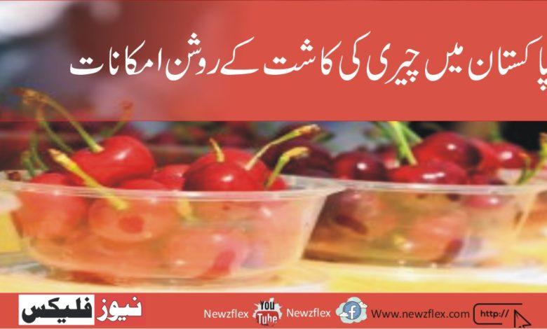 چینی مارکیٹ- پاکستان میں چیری کاشتکاروں کے لئے بہترین امکان